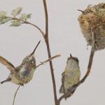 Kurzschwanzkolibri