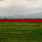 Les coquelicots inondent la province d'Azerbaïdjan