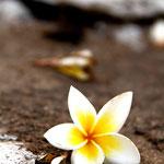 Fleur pour les pujas, offrandes aux dieux