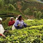 travailleuses tamoules dans les plantations de the