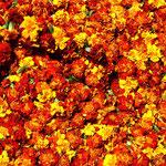 fleurs pour les offrances