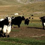 des yaks !!!! impressionnants...