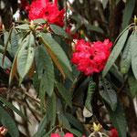 et rhododendrons