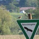 Steinschmätzer auf NSG-Schild - Foto: NABU/L. Mak
