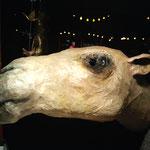 Kamelkopf, lebensgroß, verkauft