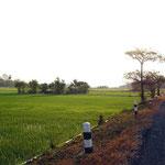 Saftige Reisfelder in der Morgensonne