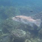 Riesenkugelfisch