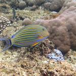 Blaustreifen-Doktorfisch
