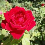 Rosengarten von Shiraz