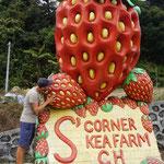 Der Erdbeerverkauf floriert, unsere Ansprüche an Erdbeeren sind jedoch viel zu hoch, Thurgauer Erdbeeren bleiben unser Favoriten!