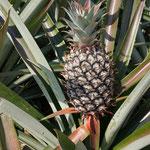 Ananas wachsen direkt am Strassenrand
