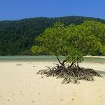 Mangroven auf Ko Surin