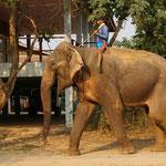 Der Mahout mit seinem Tier: Alltag im Elefantendorf Ban Tha Klang