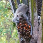Makake beim Frühstück