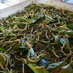 Mulberry Farm in Phonsavan: Seidenraupen beim Essen der Maulbeerblätter