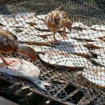 Huhn frisst Fisch