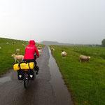 Einzig Schafe begleiten uns