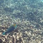 Papageienfisch über kaputten Riff