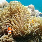 Anemone mit Clownfisch