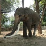 Was für ein Prachtexemplar, im Elefantendorf Ban Tha Klang getroffen