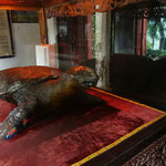 Diese Schildkröte hat viele Jahre im Hoan Kiem See in Hanoi gelebt