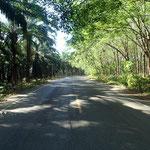 Monokultur 1: Palmölplantage Monokultur 2: Kautschuk Plantage