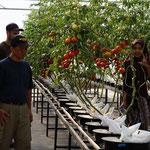 Die Tomaten werden u.a. an Mc Donalds und High-End Supermärkte in Dubai geliefert