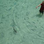 Babyhai (Schwarzspitzen-Riffhai)
