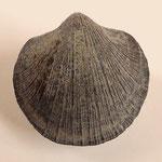 Panorthis elegantula, Ob. Silur, Tuva, Sibirien, B=14mm