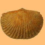 Dinorthis holdeni, Ordovizium, Claxton, Tennessee, B=17mm