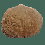 Pionodema, Ob. Ordovizium, Peverly, Montana, B=13mm