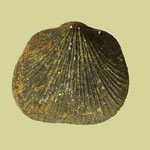 Aulacella eifeliensis, Mittl. Devon (Givet), Skaly bei Nowa Slupia, Holy Cross Mnt., Polen, B=13mm