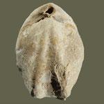 Terebratula maugeri, Miozän, Barrio del Naranjo, Cordoba, Spanien, L=62mm