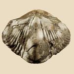 Paraspirifer auriculatus, Unt. Devon, Arnao, Asturien, Spanien