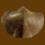 Uchtospirifer disjunctus, Unt. Devon, Uchta, Russland