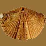 Orthospirifer fornacula, Mittl. Devon, Clarkville, Kentucky
