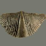 Orthospirifer cooperi, Mittl. Devon, Sylvania, Ohio (pyritisiert)