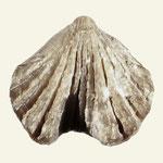 Ferganella borealis, Mittl. Silur, Sukklint bei Lickersham, Gotland, L=16mm