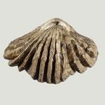 Russirhynchia cf. fischeri, Ob. Jura, Region Moskau, B=40mm