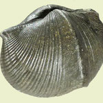 Paraspirifer bownockeri, Mittl. Devon, Sylvania, Ohio (feine Pyritkristalle) oH.jpg