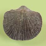 Kayserella lepida, Mittl. Devon, Eifel, B=13mm