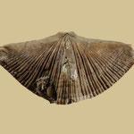 Neospirifer condor, Unt. Perm, Copinota, Bolivien