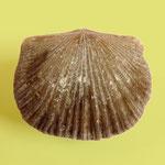 Cyrtonotella kuenersiana, Unt. Ordovizium, St. Petersburg, Russland, B=22mm