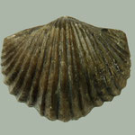 Platystrophia ponderosa, Ob. Ordovizium, Shelbyville, Kentucky, B=45mm