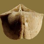 Uchtospirifer nalivkini, Ob. Devon, Voronezh, Russland