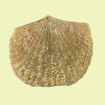 Glyptorthis costellata, Mittl. Ordovizium, Criner Hills, Oklahoma, B=11mm