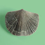 Cincinnetina meeki, Ob. Ordovizium, St. Leon, Indiana, B=16mm