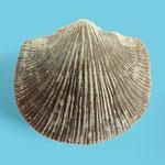 Pionodema dubia, Ordovizium, Zentral-Nord-Estland, B=25mm
