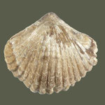 Lamellaerhynchia major,  Unt. Kreide (Hauterive), Agadir, Vallèe de Tinkert, Marokko, B=33mm