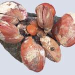 kleine Kolonie von Waltonia inconspicua, rezent, Whangarei, Neuseeland